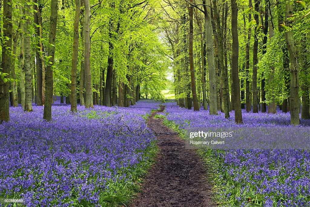 Beautiful bluebells, winding path and beech trees