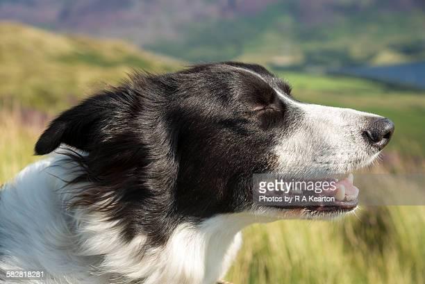 Beautiful Border Collie enjoying the breeze