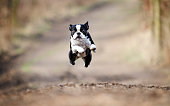 beautiful boston terrier dog running and flying in spring background