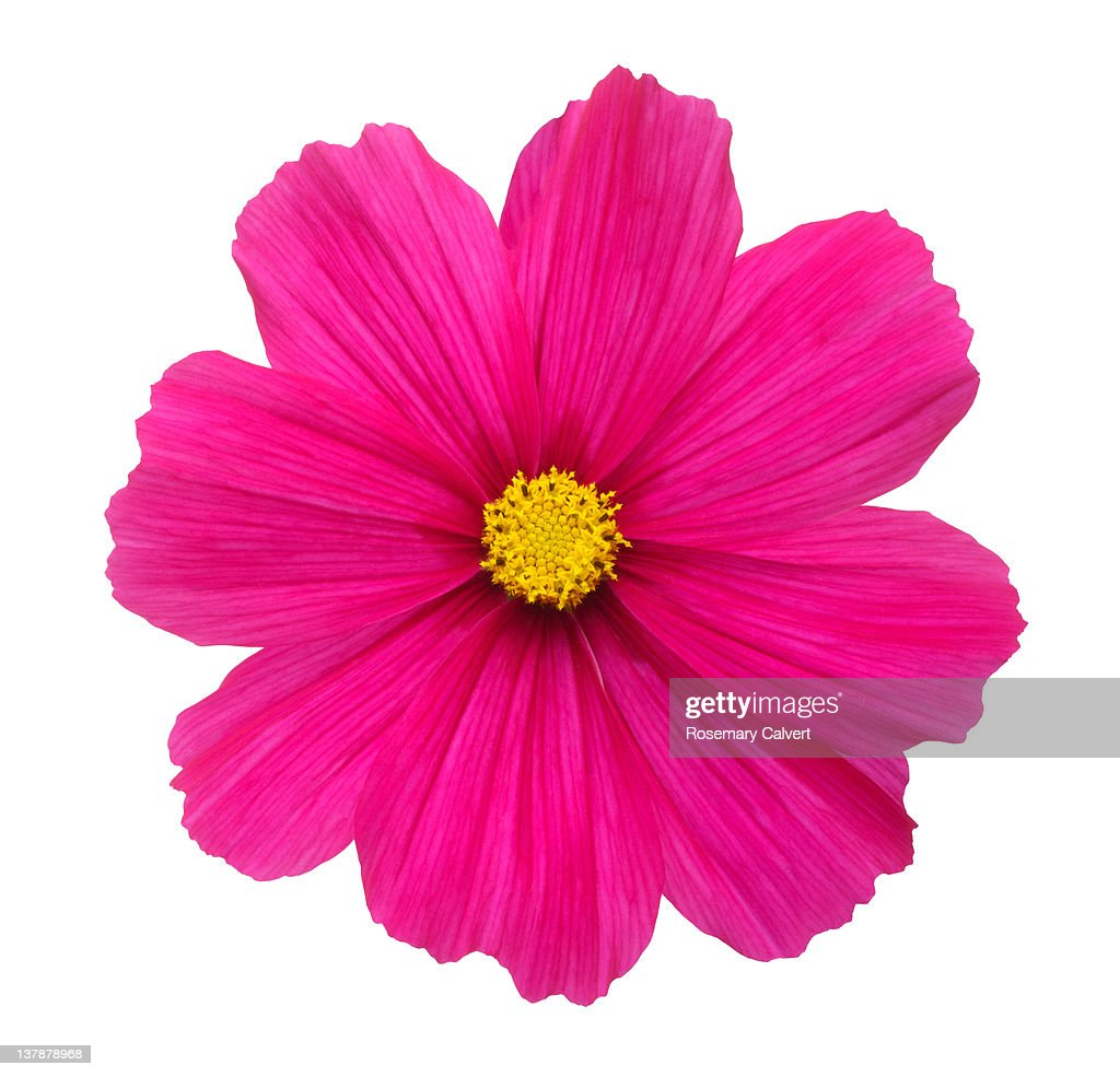 Beautiful bright pink cosmos flower. : Stock Photo