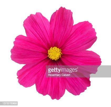Beautiful bright pink cosmos flower. : Stock Photo