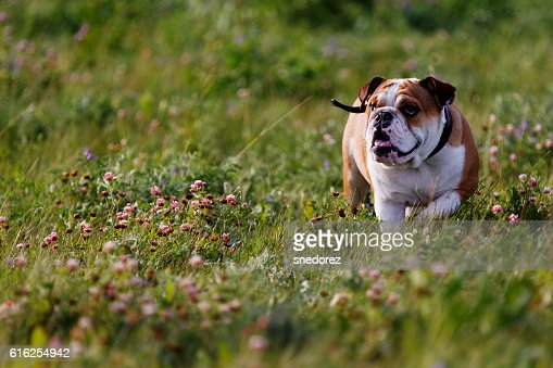 Beautiful brown-and-white bulldog walking on nature : Foto de stock
