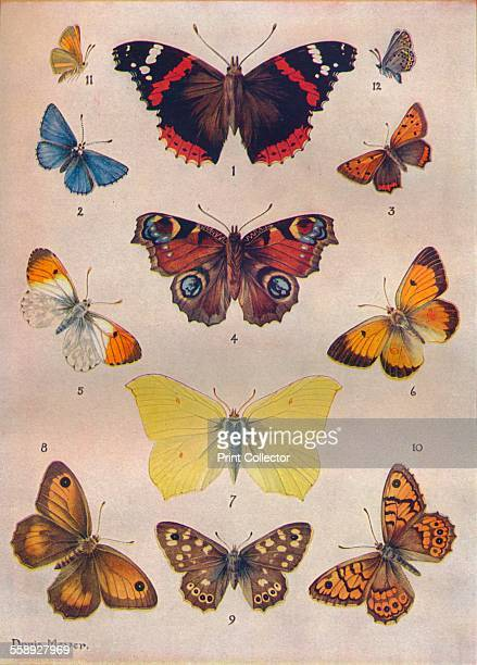 'Beautiful Butterflies of the British Isles' c1934 From The Treasury of Knowledge [Richard Clay Sons Ltd Bungay Suffolk 1934]