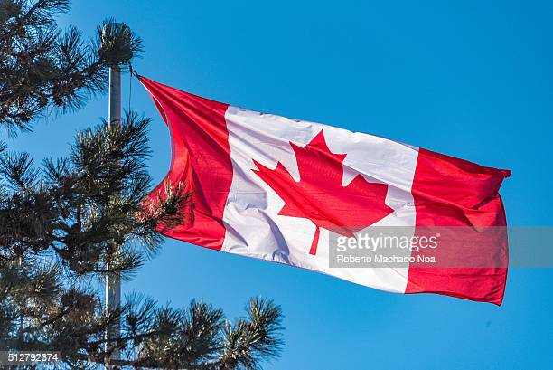 Beautiful Canadian flag waiving behind a pine tree radiant red and white colors