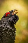Beautiful capercaillie bird male in the nice colourfull background in europe