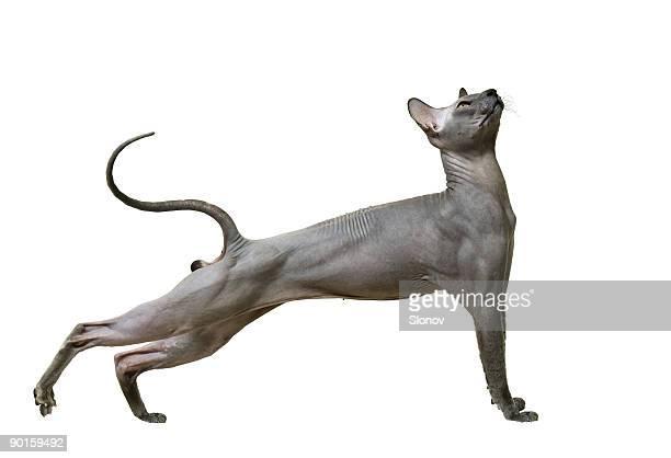 美しいスフィンクスという種類の猫