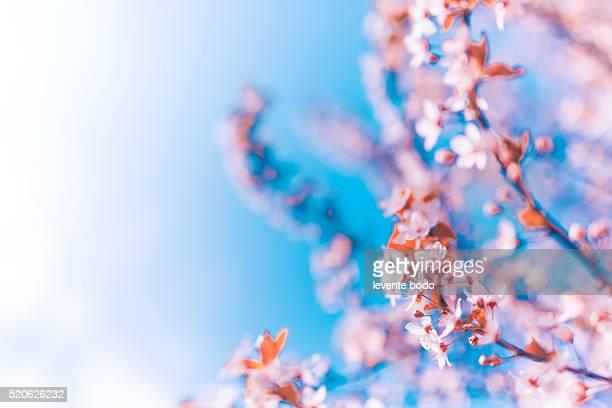 Beautiful cherry blossom artistic background