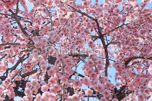 Beautiful Cherry Blossom Pink Sakura Flower Stock Photo Thinkstock