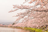 Beautiful cherry blossom , sakura  in spring time (Soft focus and blur style)  of Muramatsu Park in spring time, Niigata Prefecture,Japan.