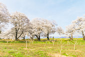 Beautiful cherry blossom trees, sakura in spring time with  blue sky background in Soft focus and blur style
