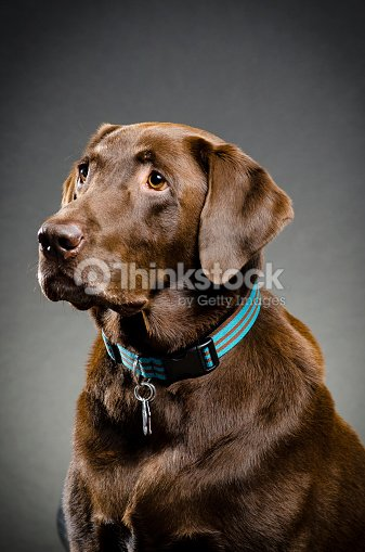 Beautiful Chocolate Lab Stock Photo Thinkstock