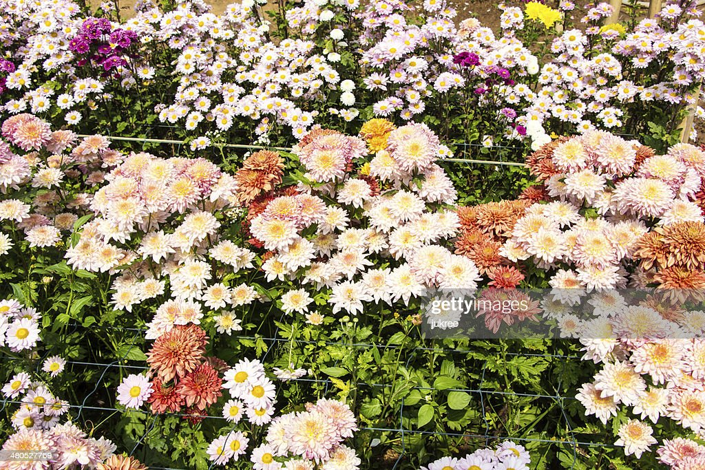 Wunderschöne Chrysantheme : Stock-Foto