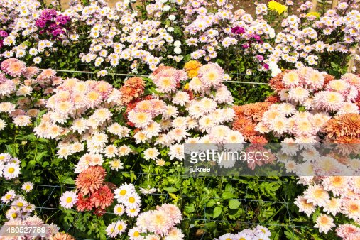 beautiful chrysanthemum : Stock Photo