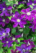 beautiful clematis flower