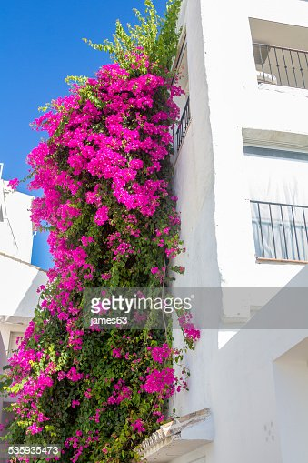 beautiful climbing plant with pink flowers in a white house : Stock Photo