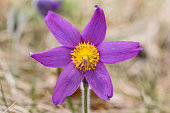 Beautiful closeup of a pasque flower - anemone pulsatilla. Picture taken in Buis de Ferreyres, Switzerland