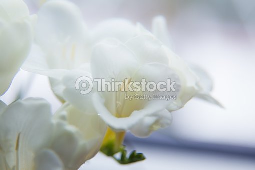 A Beautiful Closeup Of A White Freesia Flower With Shallow Depth Of