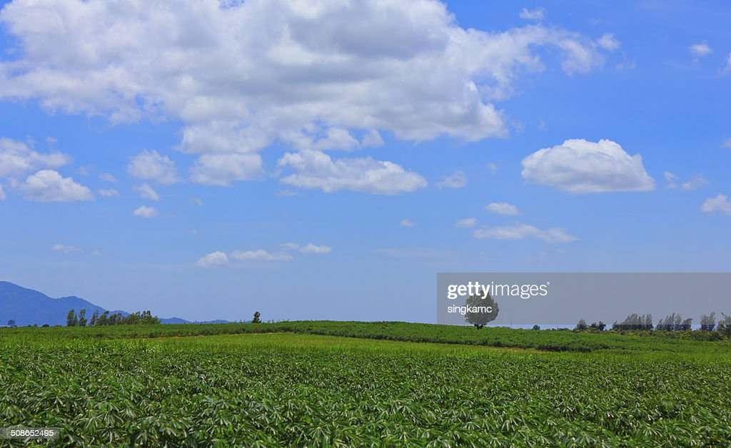 Beautiful cloud sky over green of cassava or manioc field : Stock Photo
