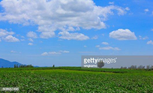 Beautiful cloud sky over green of cassava or manioc field : Stock Photo