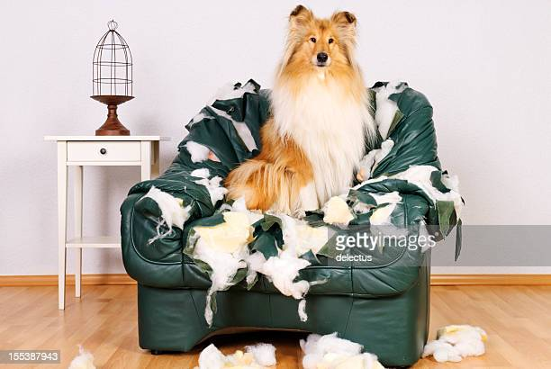 Beautiful collie sitting in tattered leather chair
