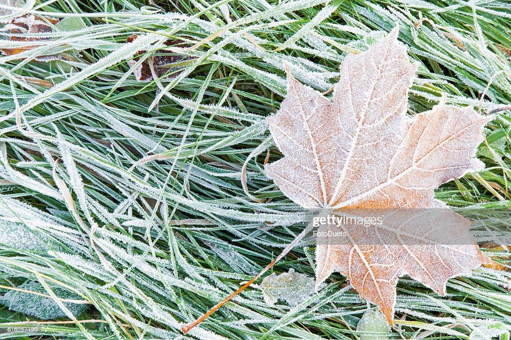 Beautiful, colorful, soft maple leaf has frozen in the meadow. : Foto de stock