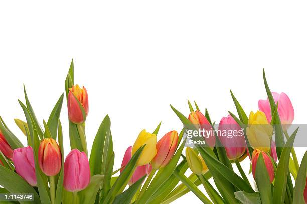 Beautiful Colorful Spring Tulip Border on white background
