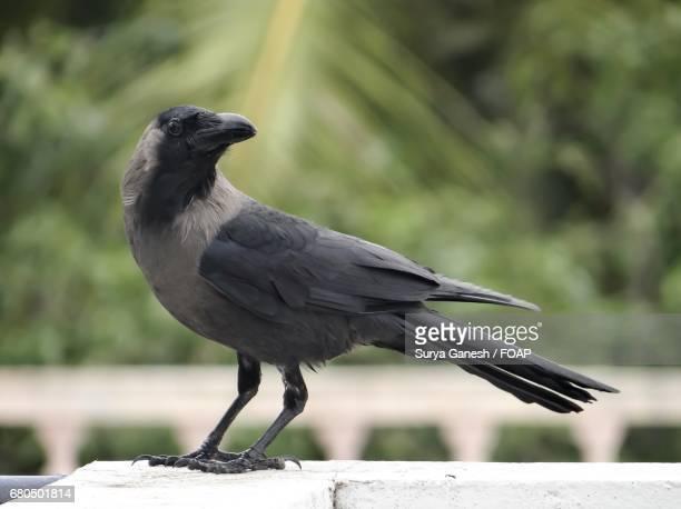 Beautiful crow