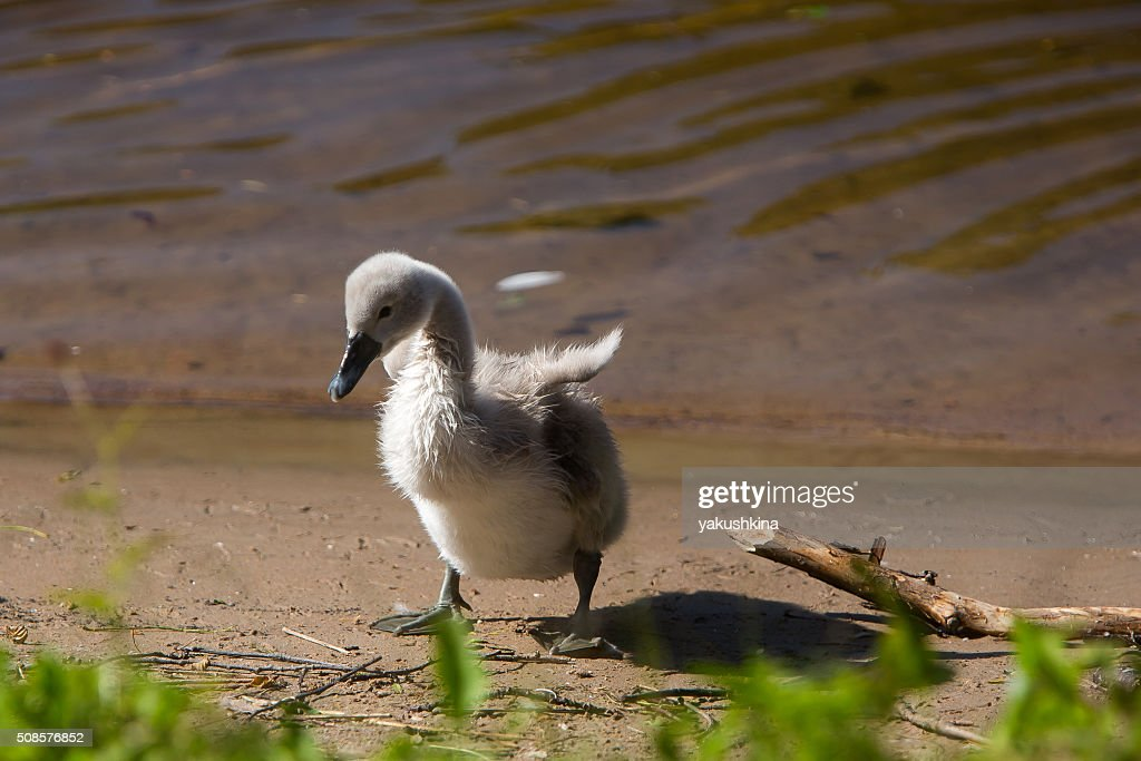 Beautiful cute little swan near the lake : Bildbanksbilder