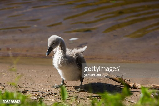 Beautiful cute little swan near the lake : Stockfoto