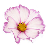 Beautiful dainty pink cosmos flower