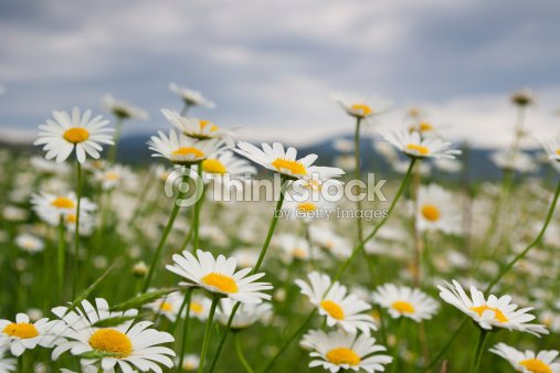 Beautiful daisies : Stock Photo