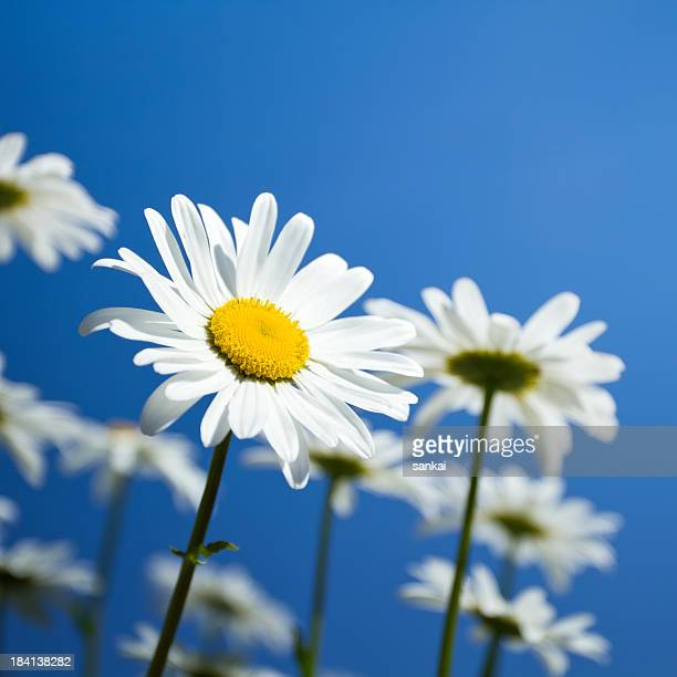 Beautiful Daisies