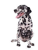 Beautiful dalmatian dog or pet on white backgroundThe Dalmatian is a breed of dog whose roots trace back to Croatia and its historical region of...