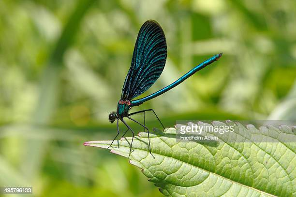 Beautiful Demoiselle -Calopteryx virgo-, male sitting on a leaf, Wiederstein, Neunkirchen, North Rhine-Westphalia, Germany