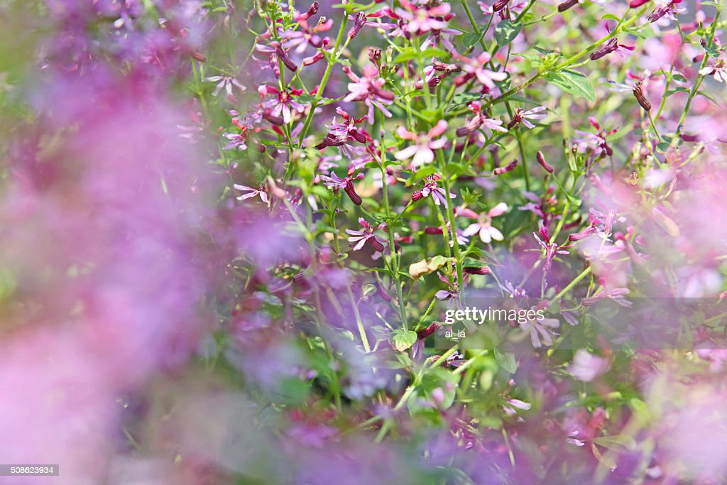 Beautiful detail of  spring violet flowers field. : Stock Photo