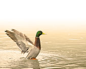 Beautiful Duck in a Pond About to Fly