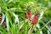 Beautiful dwarf pineapple in natural environment in Tropical Botanical Garden of the Big Island of Hawaii. Lush tropical vegetation of the islands of Hawaii, USA