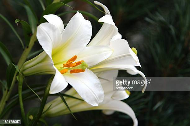 Beautiful Easter Lilies