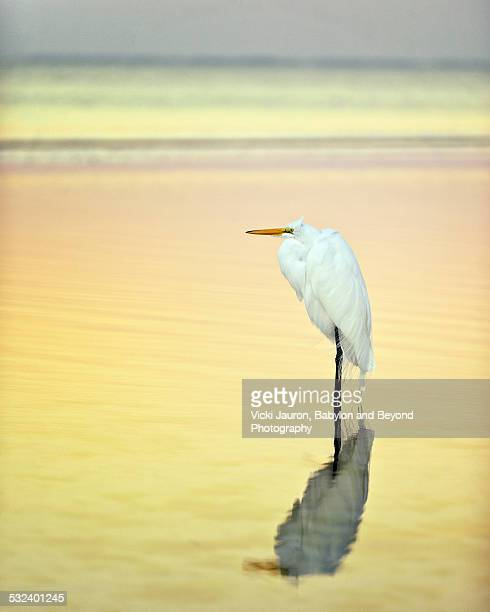 Beautiful Egret with a Gold and Pink Reflection