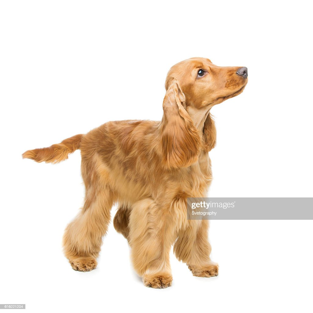 Beautiful English Cocker Spaniel : Bildbanksbilder