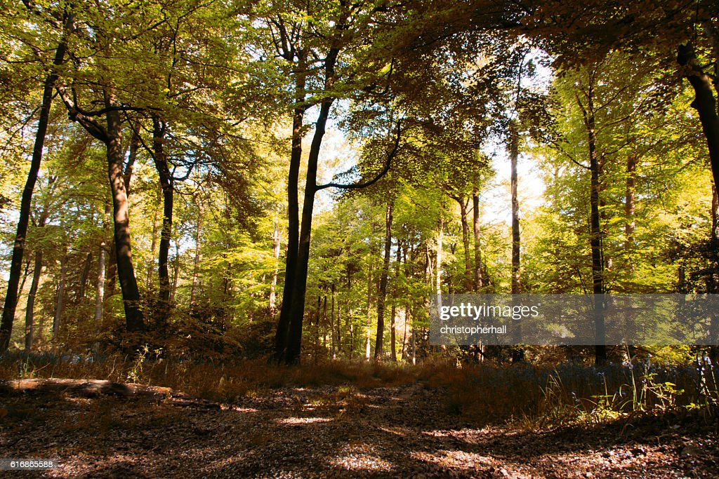 Beautiful English woodland on a spring morning : Stock Photo