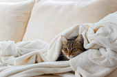 Beautiful european cat is relaxing in the soft white blanket on a sofa
