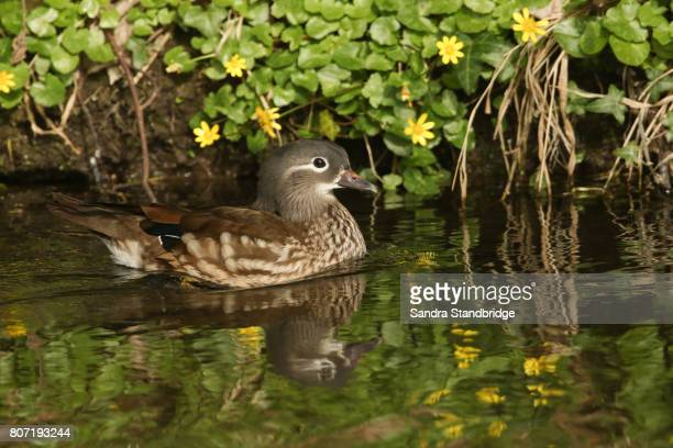 A beautiful female Mandarin Duck (Aix galericulata) swimming in a stream with a background of yellow celandine flowers.