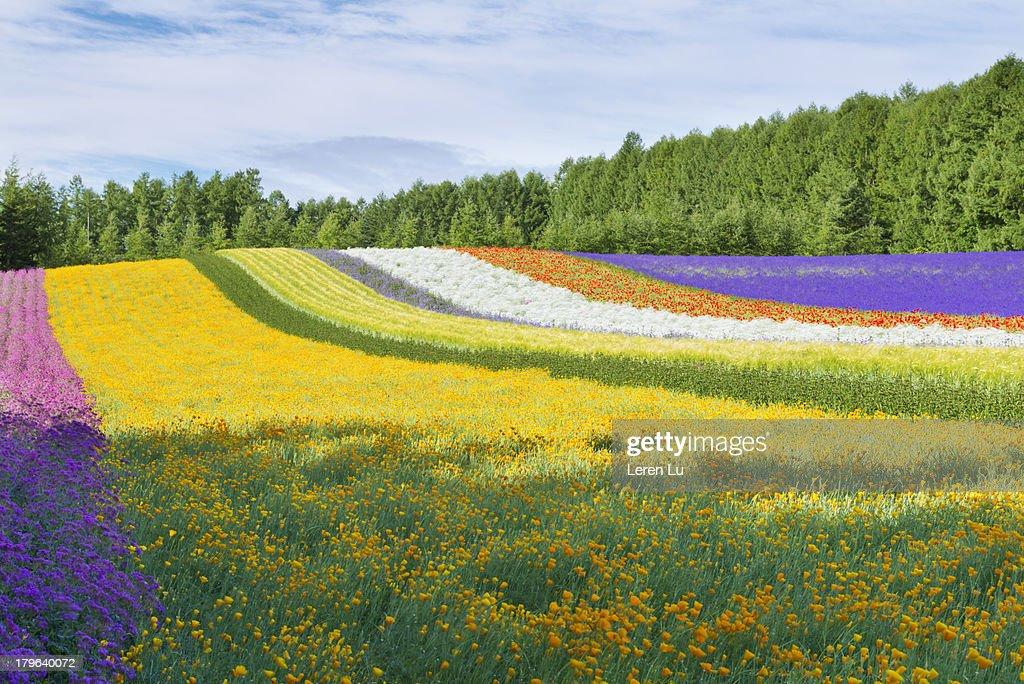 Beautiful Field Of Multicolor Flowers Stock Photo