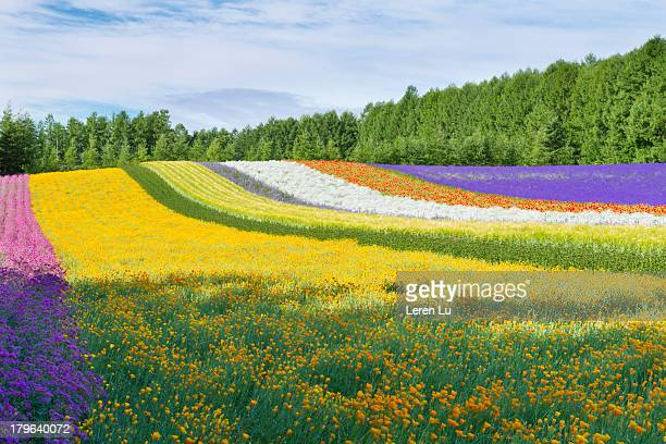 Beautiful field of multicolor flowers