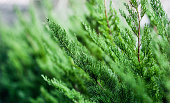 Beautiful fir tree twigs on blurred background, outdoors. Young pine tree branch. Bright green spruce. nature spring wallpaper for desktop. Selective focus.