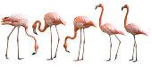 Beautiful flamingo bird isolated on white background