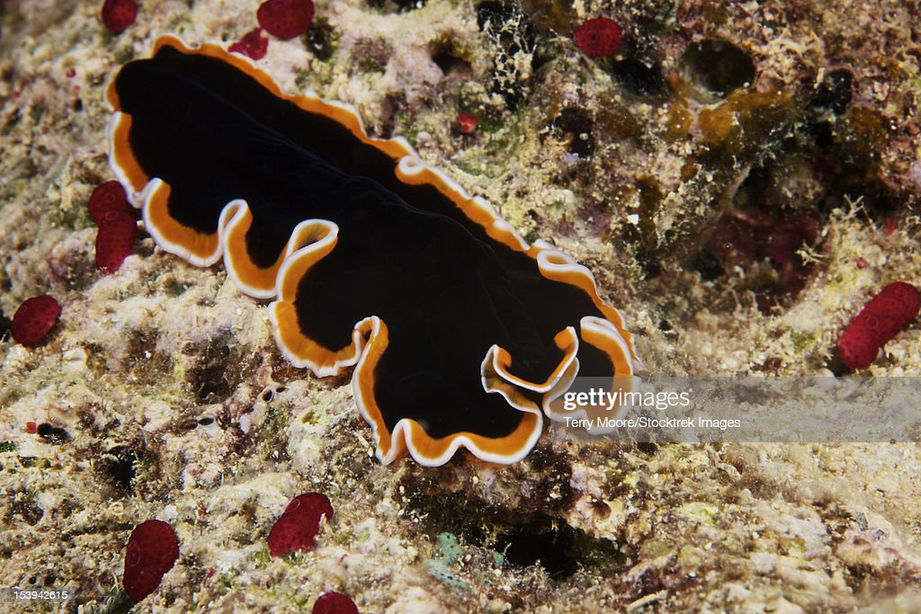 A beautiful flatworm feeds on algae, Fiji.