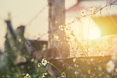 beautiful flower at the fence around countryside farm morning sunset vintage color tone