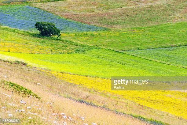 美しいフラワーフィールド、低木、木、カステルッチオ、Umbria (イタリア)
